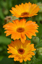 Marigold Calendula officinalis orange flower closeup Royalty Free Stock Photo