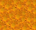 Marigold Calendula Pattern