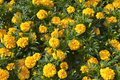 Marigold Carpet Royalty Free Stock Photography
