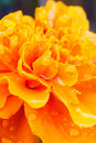 Marigold closeup Royalty Free Stock Photo