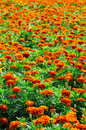 Marigold field Stock Photo