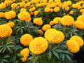 Marigold field beautiful blossom yellow flower Stock Photography