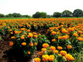 Marigold Fields Royalty Free Stock Images