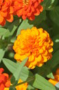 Marigold flower blossom with green leaves in garden Royalty Free Stock Photos