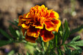 Marigold flower close up macro Royalty Free Stock Images