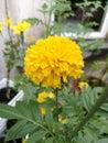 Marigold flower closeup Royalty Free Stock Photo