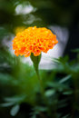 Marigold flower is closeup Royalty Free Stock Photo