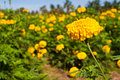 Marigold flower in the farm Royalty Free Stock Photo