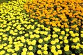 Marigold flower festival Royalty Free Stock Images