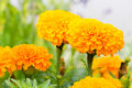 Marigold flower in the garden Royalty Free Stock Photo