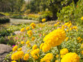 Marigold flower glowing yellow planted in parks in the summer Stock Photo