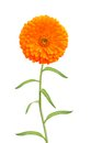 Marigold flower isolated white Royalty Free Stock Image