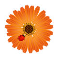 A marigold flower with ladybug on a white background.