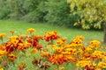Marigold Flower In Nature