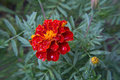Marigold flower after rain Royalty Free Stock Photo