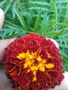 Marigold flower used in indian culture as most pure in wedding or in any another function Royalty Free Stock Photo