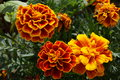 Marigold flower with yellow and orange petals Royalty Free Stock Photo
