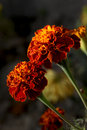 Marigold flowers Royalty Free Stock Images