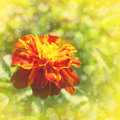 Marigold flowers on beautiful bokeh background very shallow dof Royalty Free Stock Image