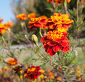 Marigold flowers closeup Royalty Free Stock Photo