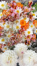 Marigold flowers with margaritas Royalty Free Stock Photo