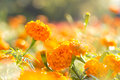 Marigold flowers with water drop Royalty Free Stock Photo