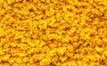 Marigold Petals Background