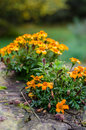 Marigold plants growing on a stump Royalty Free Stock Photo