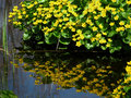 Marigold Reflections Royalty Free Stock Photo