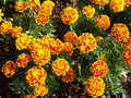 Marigold tagetes erecta l garden decoration small pot plant field yellow orange red flowers growing in a botanical park in Royalty Free Stock Image