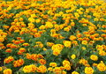 Marigold tagetes erecta l garden decoration small pot plant field yellow orange red flowers growing in a botanical park in Royalty Free Stock Photography