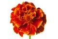 Marigold white bright orange flower cut on background Stock Photo