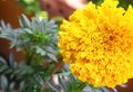 Marigold yellow flowers. Beautiful Marigold india flower Royalty Free Stock Photo