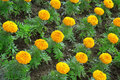 Marigolds Royalty Free Stock Photo