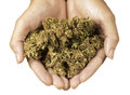 Marijuana close up of hands holding buds Royalty Free Stock Images