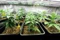 Marijuana crop growing indoors Royalty Free Stock Images