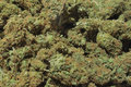 Marijuana full frame filled with medical buds Royalty Free Stock Images