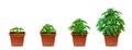 Marijuana growing phase Royalty Free Stock Photo