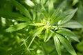 Marijuana leaf background wallpaper, cannabis hemp leaf outdoors Royalty Free Stock Photo