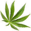 Marijuana leaf the cannabis plant intended for use as a psychoactive drug and as medicine panoramic shot of Royalty Free Stock Photos