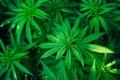 Marijuana plant background wallpaper, cannabis hemp leaf outdoor Royalty Free Stock Photo