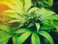 Marijuana Plant in daylight Royalty Free Stock Photo