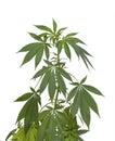 Marijuana plant medical cannabis isolated on white Royalty Free Stock Image