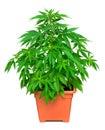 Marijuana plant Royalty Free Stock Photo