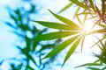 The marijuana plant outdoors at sunset Royalty Free Stock Photo