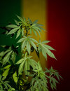 Marijuana plant on rastafarian flag background cannabis with dark scene with deep shadows Royalty Free Stock Image