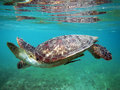 Marine animal green turtle flying fishes is in the deep ocean Stock Image