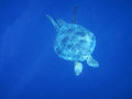 Marine animal green turtle flying fishes is in the deep ocean Royalty Free Stock Photography
