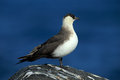 Marine bird Arctic Skua, Stercorarius parasiticus, sitting on stone with dark blue sea at backgrond, Svalbard Royalty Free Stock Photo
