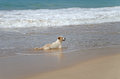 Marine dog resting on the beach in the sea waves Stock Photography